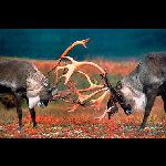 Катание на оленях